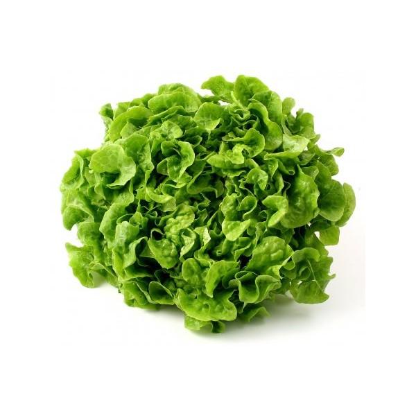 Enciam fulla de roure verd (u)